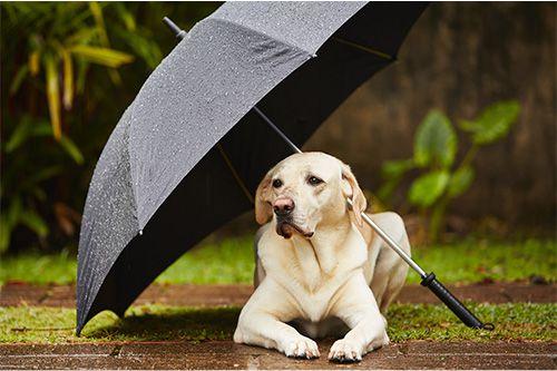 douto cao chuva